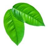 biały zieleni tło liść Obrazy Stock