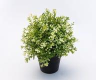 Biały - zielony plastikowy dekoracyjny kwiat w czarnym plastikowym garnku jest na białym tle fotografia royalty free