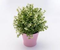 Biały - zielony plastikowy dekoracyjny kwiat w różowym plastikowym garnku jest na białym tle zdjęcie stock