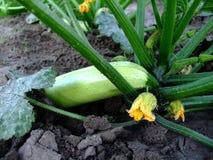 Biały Zucchini na ziemi pod krzakiem zdjęcia stock