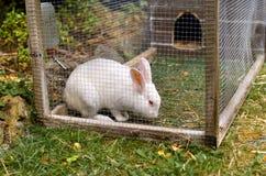 Biały zwierzę domowe królik Zdjęcie Stock