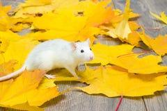 Biały zwierzę domowe szczur Fotografia Royalty Free