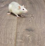 Biały zwierzę domowe szczur Obrazy Stock