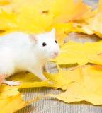 Biały zwierzę domowe szczur Zdjęcia Stock