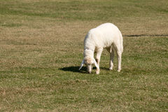 Białych cakli pasanie w pola gospodarstwie rolnym Obrazy Stock