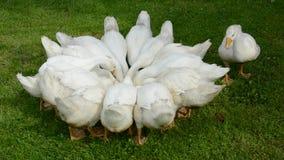 Białych domowych gooses grupowy odżywianie w gospodarstwie rolnym zdjęcie wideo
