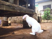 Białych Dzikich królików trwanie widok z powrotem zdjęcie royalty free