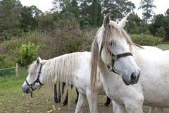 Białych koni głowy Obrazy Royalty Free