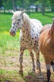 Białych koni stojak na łące z żółtym kwiatu polem w Wielkich dymiących górach park narodowy, Tennessee usa obraz royalty free