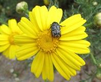 Białych kropek Czarna ściga na Żywym Żółtym kwitnienie kwiacie Obrazy Stock