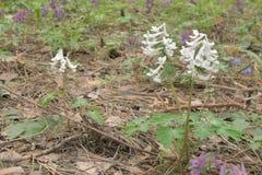 Białych kwiatów Corydalis zwarty na łące wśród różowego fumew Obrazy Royalty Free