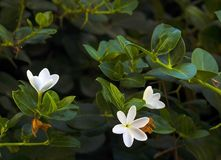 Białych kwiatów Frangipani na gałąź lub Plumeria Zdjęcie Stock