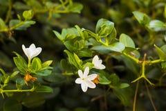 Białych kwiatów Frangipani na gałąź lub Plumeria Zdjęcie Royalty Free