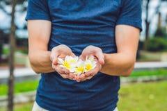 Białych kwiatów frangipani plumeria w mężczyzna ` s rękach Obrazy Royalty Free