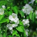 Białych kwiatów jabłoń Zdjęcia Stock