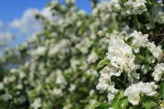 Białych kwiatów jabłoń Obraz Stock