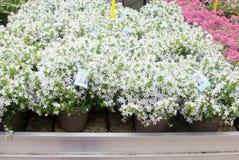 Białych kwiatów kampanuli rośliny uprawiają ogródek szklarnię, holandie Obraz Royalty Free
