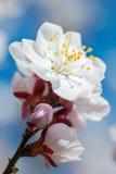 Białych kwiatów zakończenia fotografia Zdjęcie Royalty Free