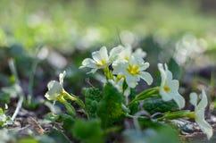 Białych kwiatów zakończenie w wiośnie Obraz Royalty Free