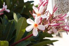 Białych kwiatów zbliżenia Kwiatonośni drzewa obraz stock
