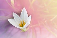Białych kwiatów Zephyranthes leluja lub deszcz leluja z romantyczną miękką częścią Obraz Stock