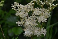 Białych małych kwiatów łąkowa trawa po deszczu przeciw tłu zieleń park Zdjęcia Royalty Free
