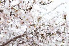 Białych okwitnięcia Migdałowego drzewa kwiatów lekki tło Zdjęcie Stock