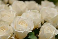 Białych róż tło i tekstura Obraz Stock