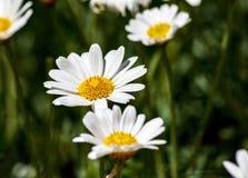 Białych stokrotek kwiatów zamknięty up Zdjęcia Royalty Free