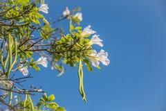 Biała akacja Zdjęcie Royalty Free