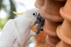 Biała ara Zdjęcia Royalty Free