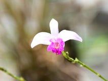 Biała Bambusowa orchidea (Arundina) Obraz Stock