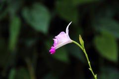Biała Bambusowa orchidea (Arundina) Fotografia Stock