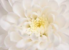 Biała chryzantema Obrazy Royalty Free