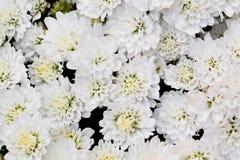 Biała chryzantema Kwitnie w ogródzie Zdjęcie Stock