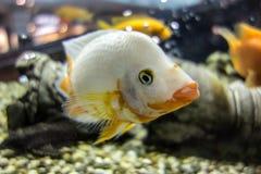 Biała cichlid ryba w akwarium Obrazy Stock