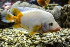 Biała cichlid ryba w akwarium Zdjęcia Royalty Free