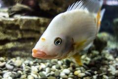 Biała cichlid ryba w akwarium Fotografia Royalty Free