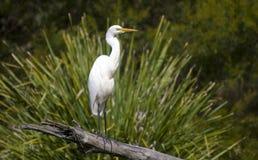 Biała czapla - Queensland Australia Obrazy Royalty Free