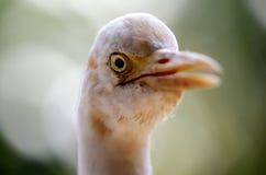 Biała czapla w Kuala Lumpur ptaka parku Zdjęcie Stock