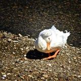 Biała Czubata Domowa kaczka Zdjęcia Royalty Free