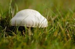 Biała dapperling pieczarka w obszarze trawiastym Obrazy Stock