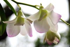 Biała Dendrobium orchidea Obrazy Royalty Free