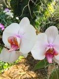 Biała dzika orchidea Zdjęcie Royalty Free