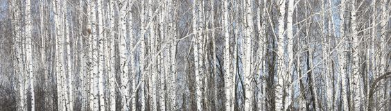 Białe brzozy w brzoza gaju Obrazy Royalty Free