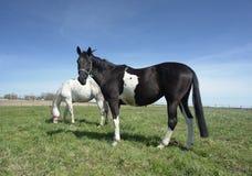 białe czarne konie Fotografia Royalty Free