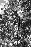 białe drzewo, czarny Obraz Royalty Free