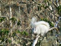 białe drzewo wiewiórka Zdjęcia Royalty Free