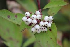 Białe jagody W lesie Obraz Royalty Free