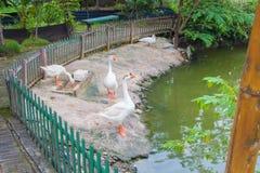 Białe kaczki na staw stronie Obrazy Royalty Free